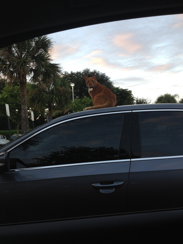 Cat on top of car